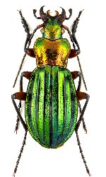 uploadphotoimage/Carabus.auronitens.intercostatus.MxNEW