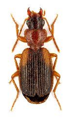 uploadphotoimage/Cymindis.angularis.angularis.MxNEW