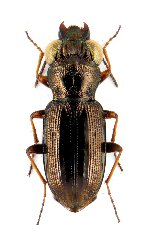 uploadphotoimage/Notiophilus.rufipes.rufipes.WxNEW